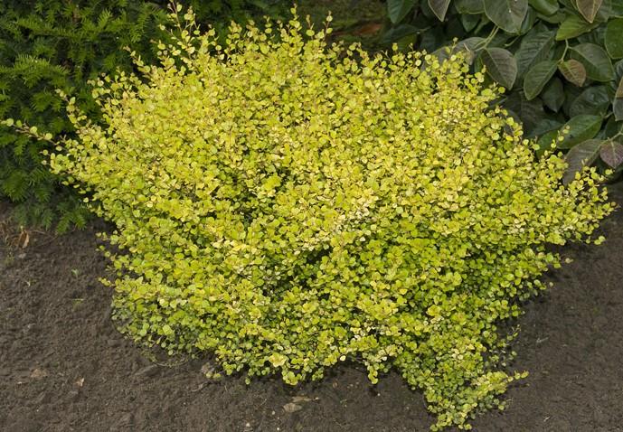 betula nana golden treasure