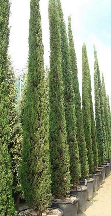 cupressocyparis leylandii green rocket gold