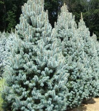 Srebrna Smrča - Picea pungens iseli fastigiata