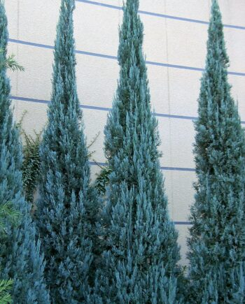 juniperus - blue heaven