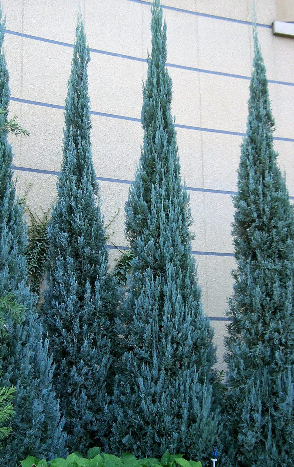 juniperus - blue heaven