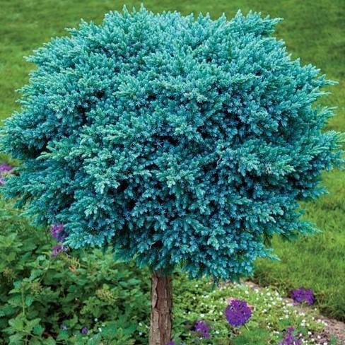 juniperus blue star na stapu
