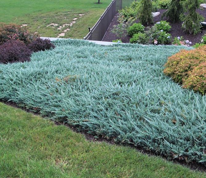 ukrasno zelenilo - juniperus horizontalis blue chip