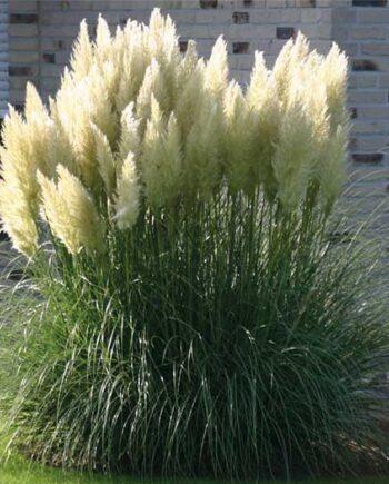 Pampas trava - Cveće