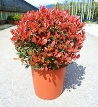 photinia_fraseri_little_red_robin.jpgn_1