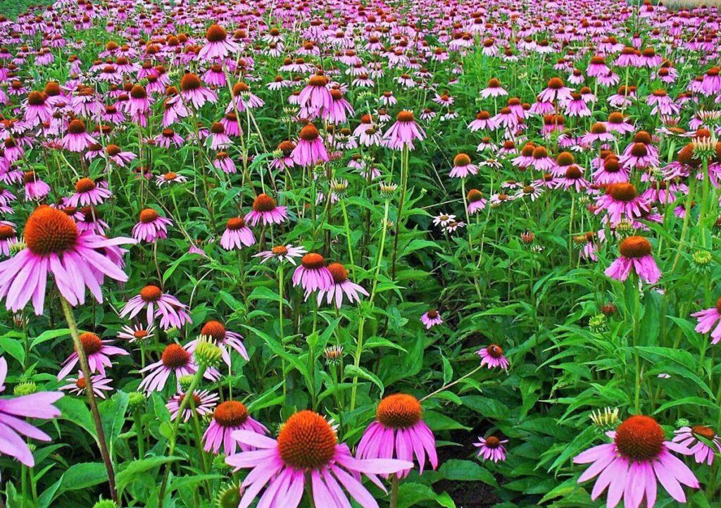 Cveće - Rudbekija
