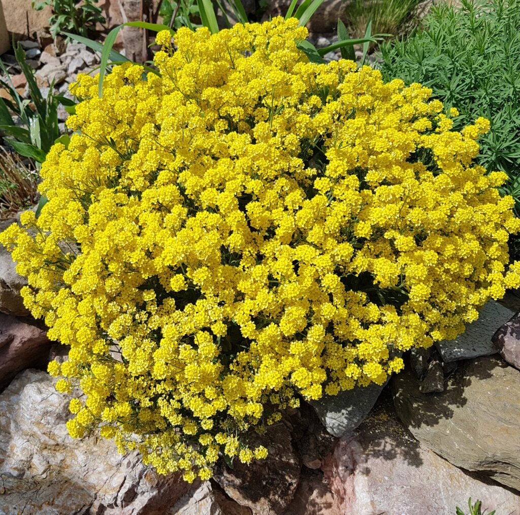 Sedum acre - Cveće