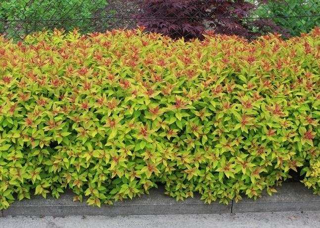 spirea japonica goldflame