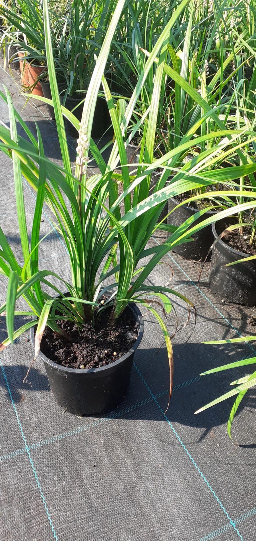 Ophiopogon japonicus 001