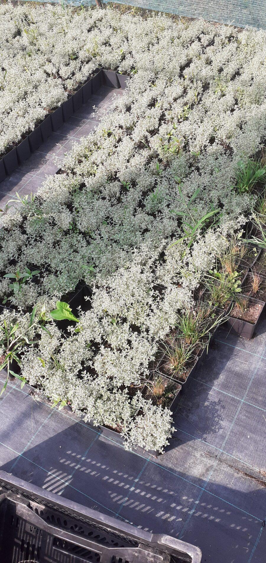 Thymus sylver variegatum