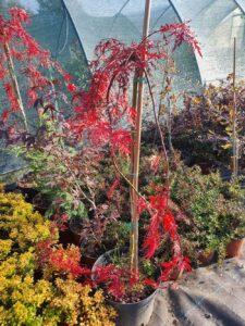 """Acer palmatum """"Dissectum Garnet"""" Palmolisni javor crvenolisni"""